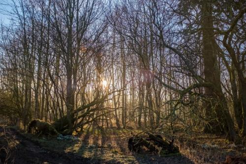 birch wood, February 2019