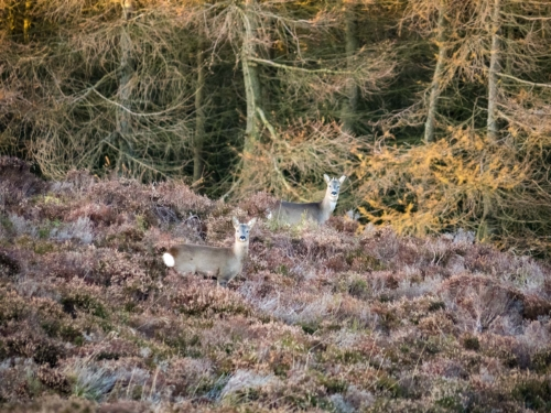 deer on Balduff, October 2019